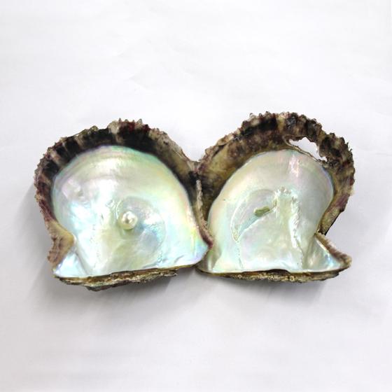 >1つのアコヤ貝から何年もかけて1つの真珠が育まれます。